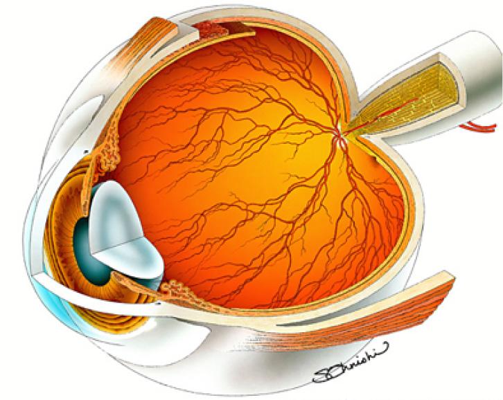目の模型図